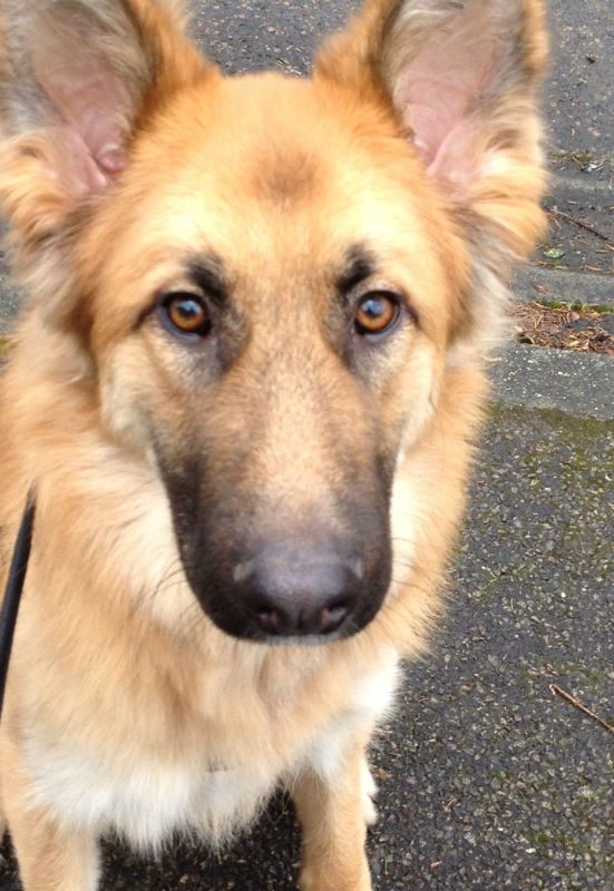 Dora German Shepherd Rescue Elite - Dora german shepherd