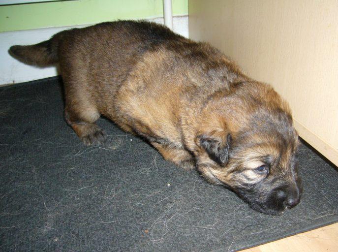 Barney Pup (3)