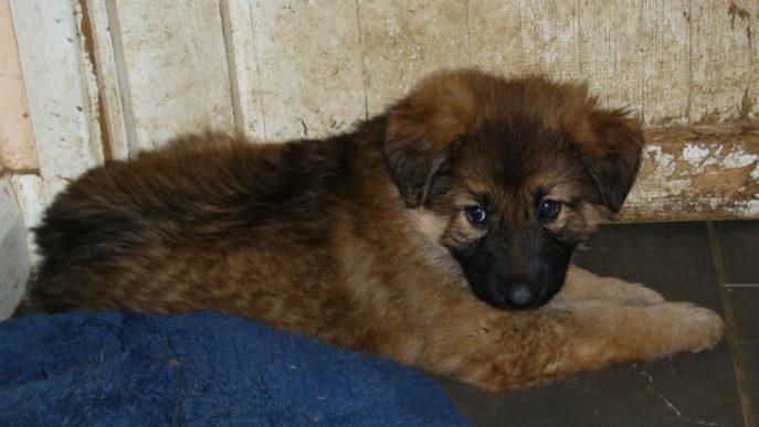 Bracken Pup (4)
