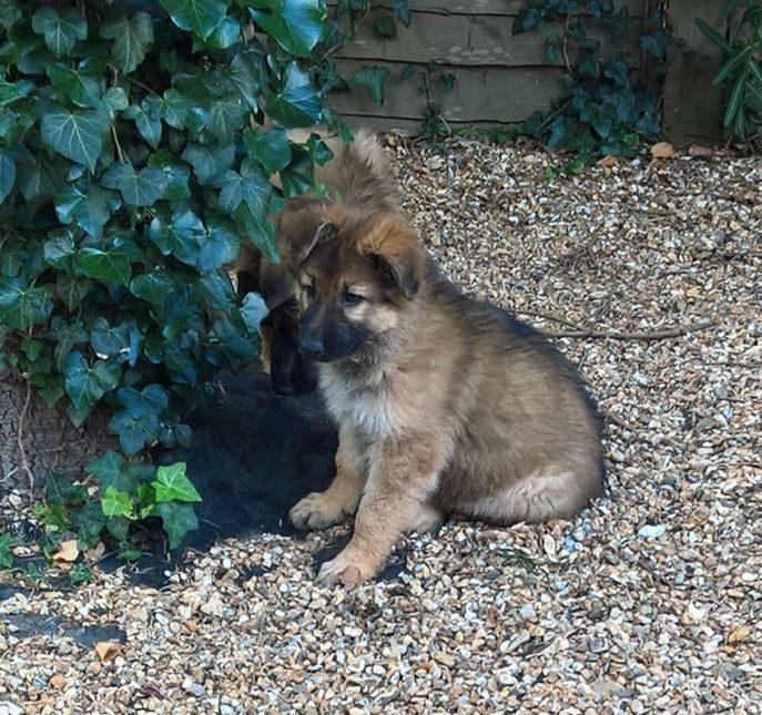 Bracken Pup (8)
