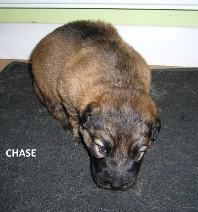 Chase Pup (2)