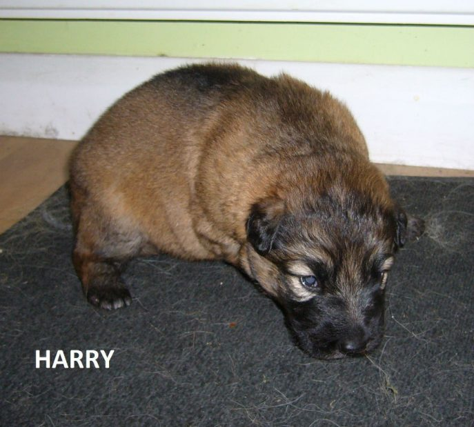 Harry Pup (2)