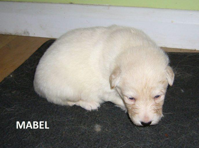 Mabel Pup (2)
