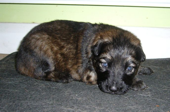 Willow Pup (4)