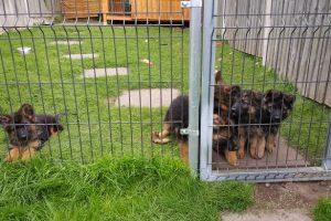 grum-puppies-060716